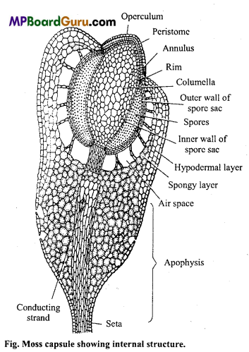 MP Board Class 11th Biology Important Questions Chapter 3 Plant Kingdom Important 2
