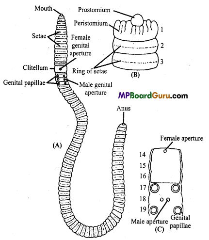 MP Board Class 11th Biology Important Questions Chapter 4 Animal Kingdom 1