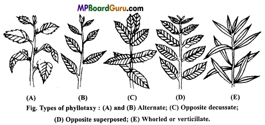 MP Board Class 11th Biology Important Questions Chapter 5 Morphology of Flowering Plants 10