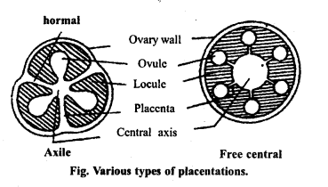 MP Board Class 11th Biology Important Questions Chapter 5 Morphology of Flowering Plants 13