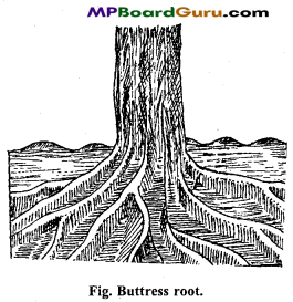 MP Board Class 11th Biology Important Questions Chapter 5 Morphology of Flowering Plants 22