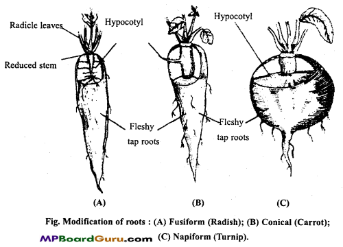MP Board Class 11th Biology Important Questions Chapter 5 Morphology of Flowering Plants 23