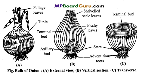 MP Board Class 11th Biology Important Questions Chapter 5 Morphology of Flowering Plants 26