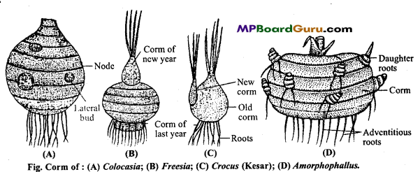 MP Board Class 11th Biology Important Questions Chapter 5 Morphology of Flowering Plants 28