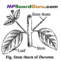 MP Board Class 11th Biology Important Questions Chapter 5 Morphology of Flowering Plants 30