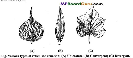 MP Board Class 11th Biology Important Questions Chapter 5 Morphology of Flowering Plants 31