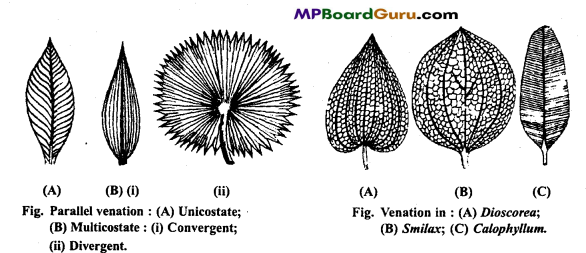 MP Board Class 11th Biology Important Questions Chapter 5 Morphology of Flowering Plants 32