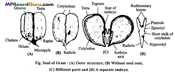 MP Board Class 11th Biology Important Questions Chapter 5 Morphology of Flowering Plants 36