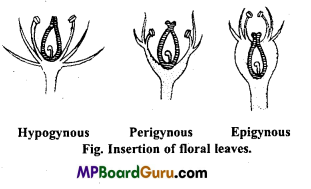 MP Board Class 11th Biology Important Questions Chapter 5 Morphology of Flowering Plants 8