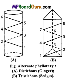 MP Board Class 11th Biology Important Questions Chapter 5 Morphology of Flowering Plants 9
