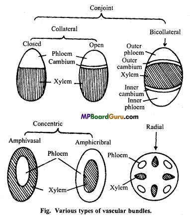 MP Board Class 11th Biology Important Questions Chapter 6 Anatomy of Flowering Plants 12