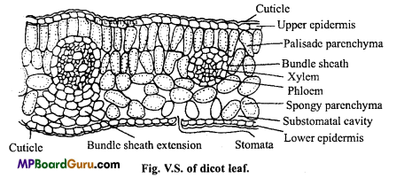 MP Board Class 11th Biology Important Questions Chapter 6 Anatomy of Flowering Plants 5