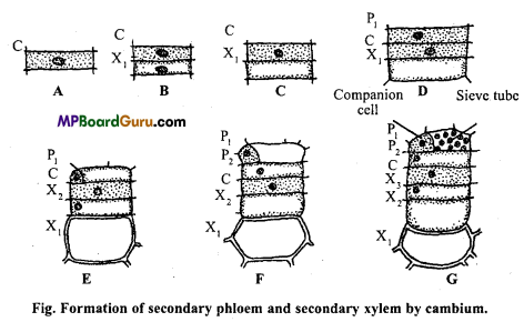 MP Board Class 11th Biology Important Questions Chapter 6 Anatomy of Flowering Plants 7