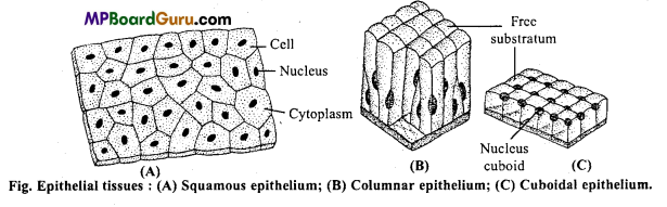 MP Board Class 11th Biology Important Questions Chapter 7 Structural Organisation in Animals 8