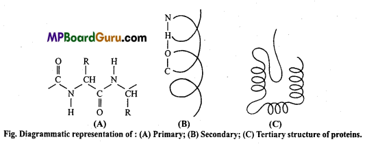 MP Board Class 11th Biology Important Questions Chapter 9 Biomolecules 14